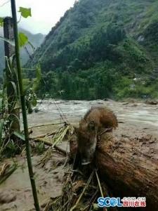 宝兴2人遇难路面坍塌 洪水把野猪冲下山